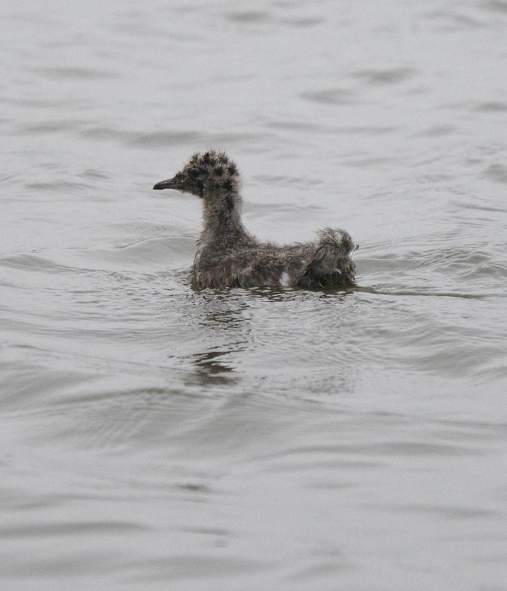 Black-headed Gull chick