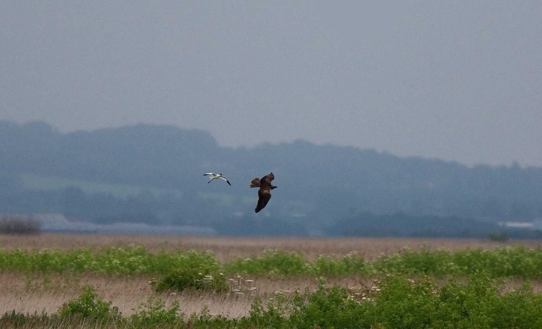 Avocet with Marsh Harrier