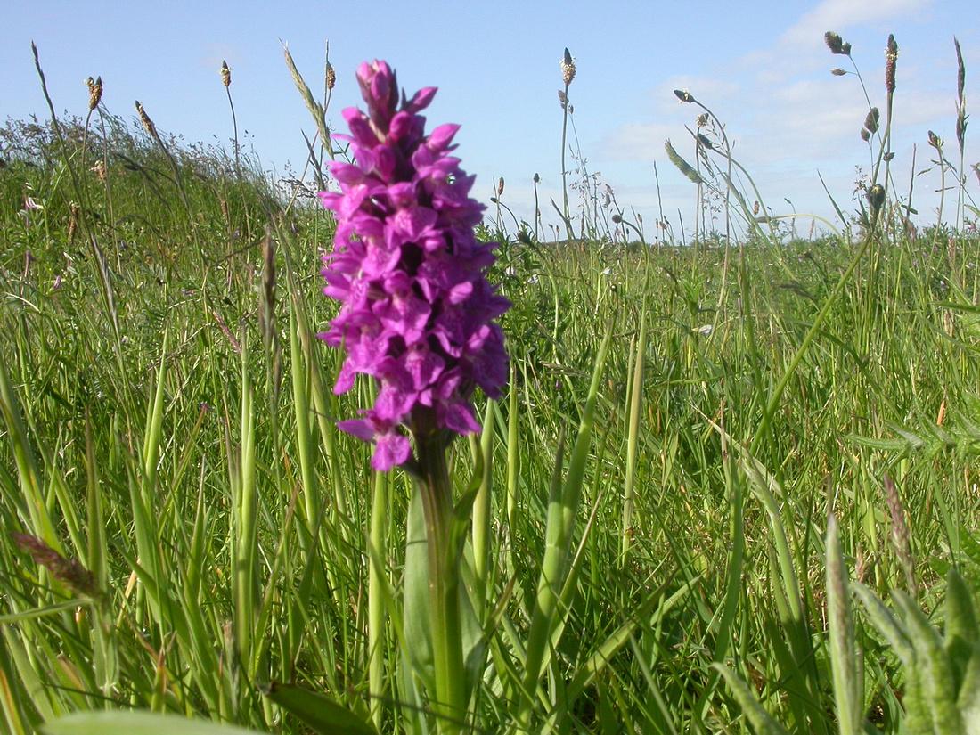 Marsh orchid, Flamborough