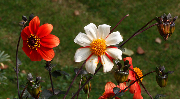 Two coloured flowers on one plant - dahlia