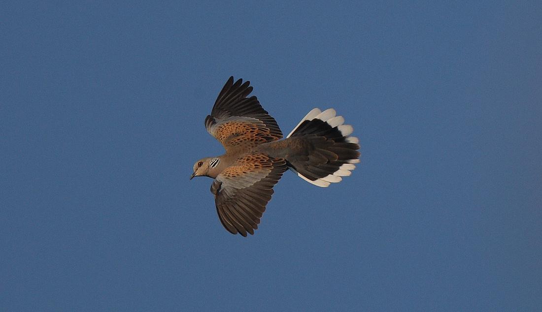 Turtle Dove