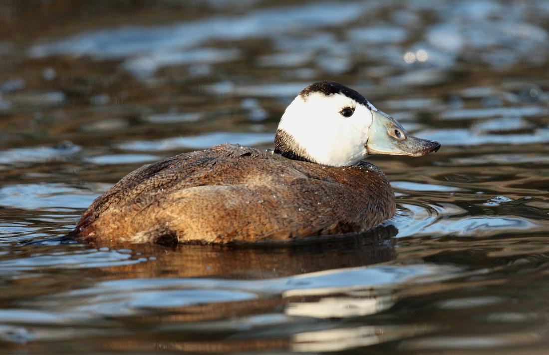 White-headed Duck