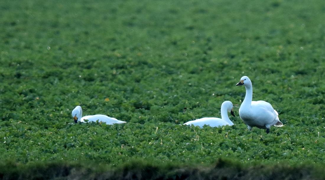 Bewick's Swan