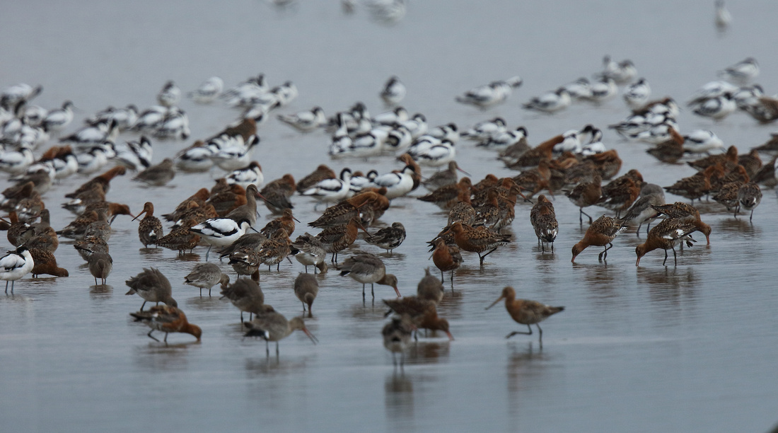 Avocets, Black-tailed Godwits