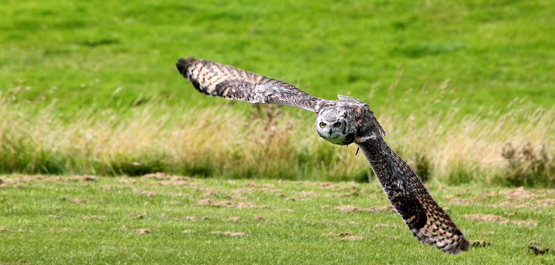 Eagle Owl sp.