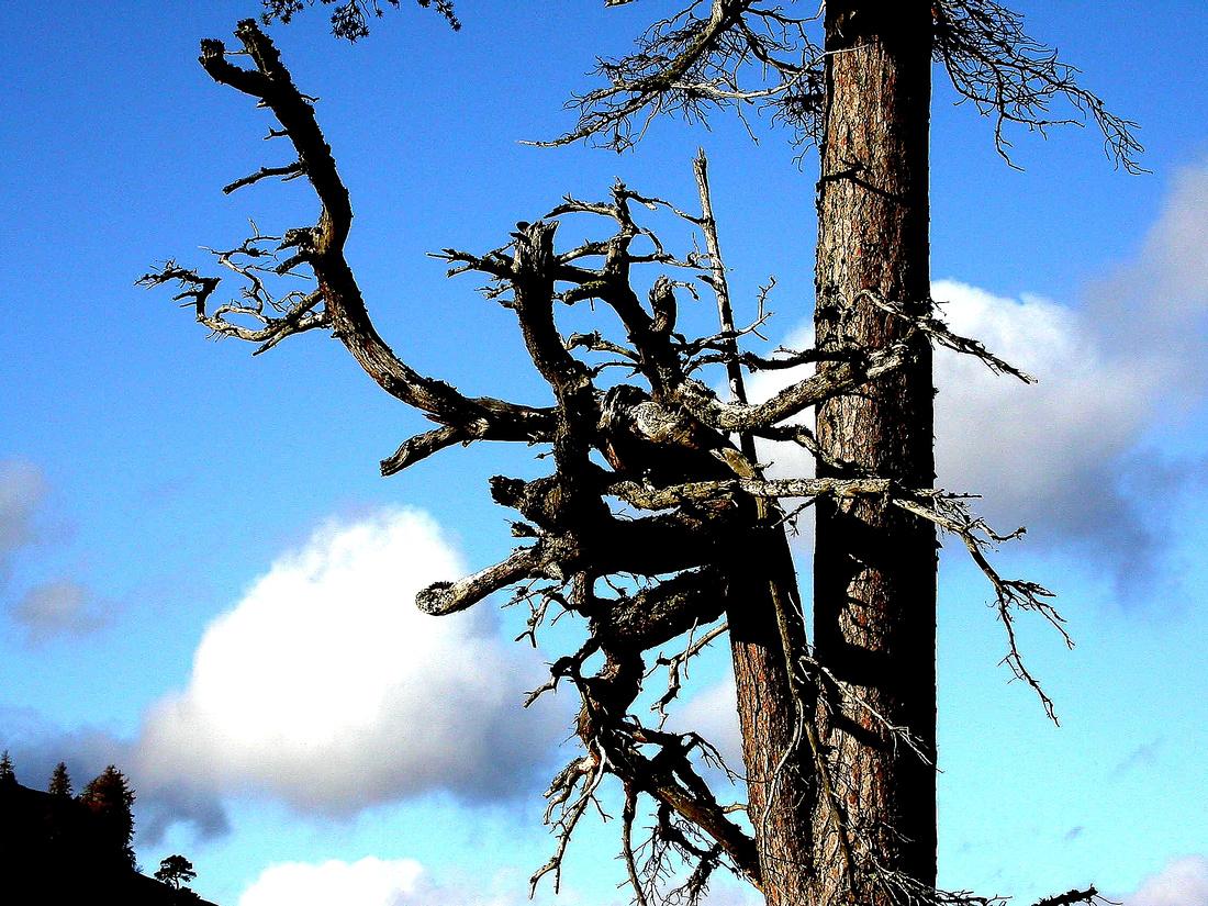 Dead Scots Pine