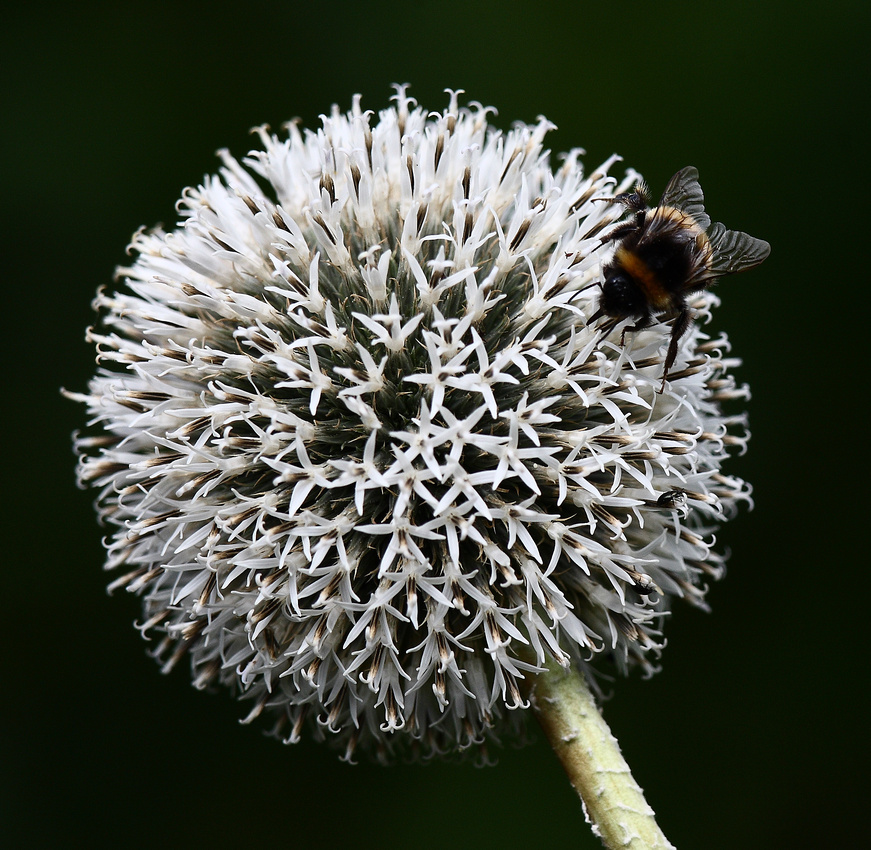 Bee on white globe thistle