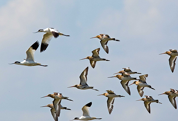 Black-tailed Godwits with avocets