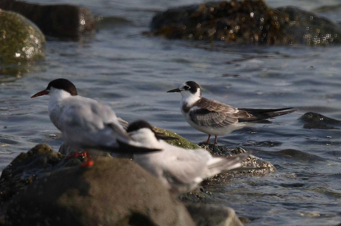 Black Tern juvenile