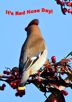 Red nose Day waxwing!