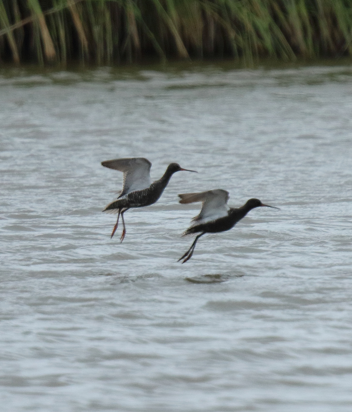 Spotted Redshanks