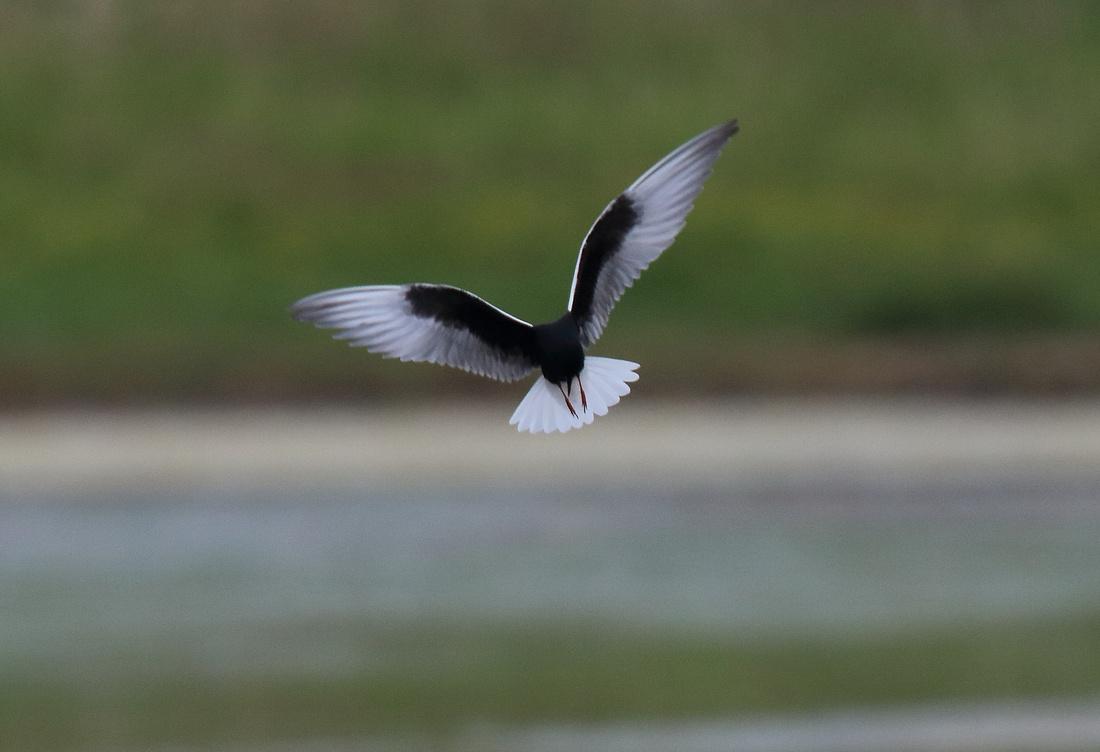 White-winged Black Tern