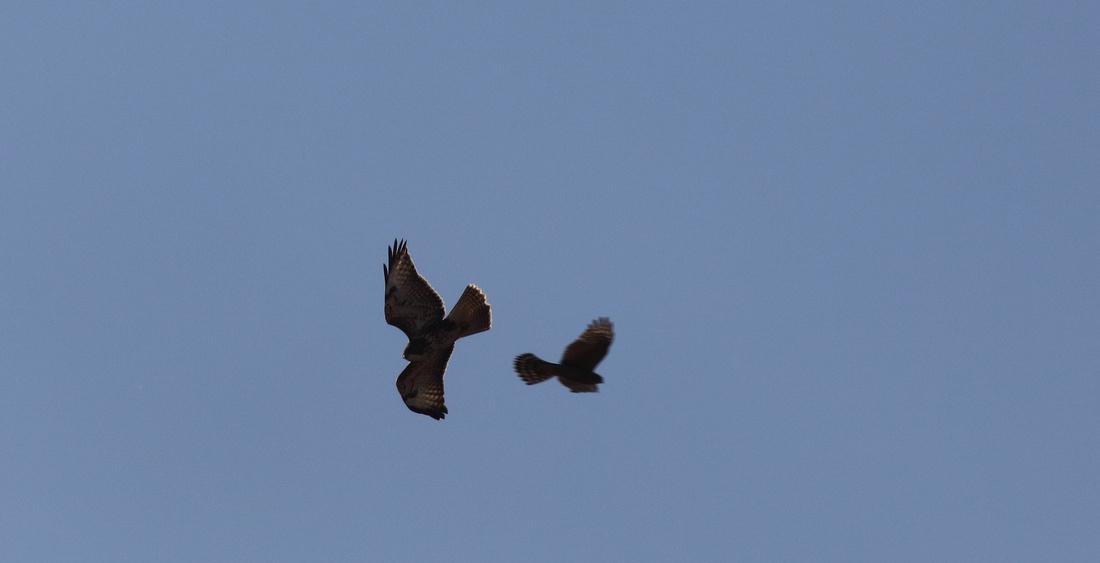 Buzzard + Sparrowhawk