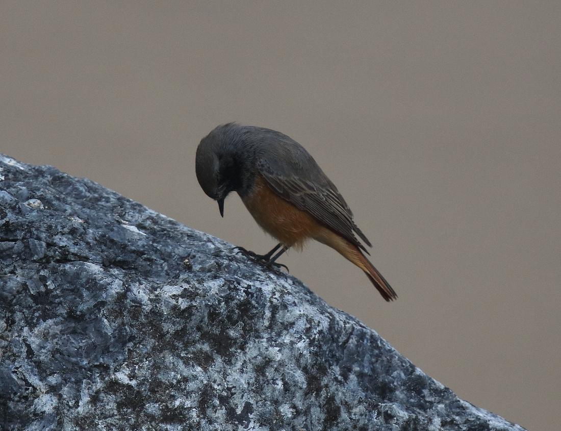 Eastern Black Redstart Skinningrove