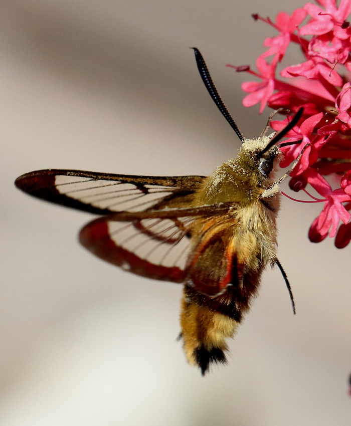 Broad-bordered Bee Hawkmoth