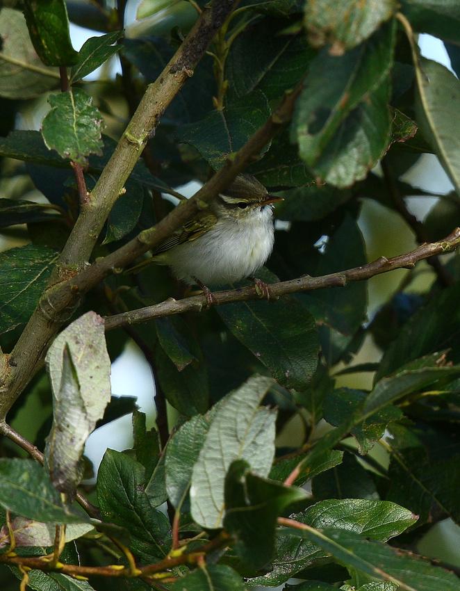 Eastern Crowned Warbler
