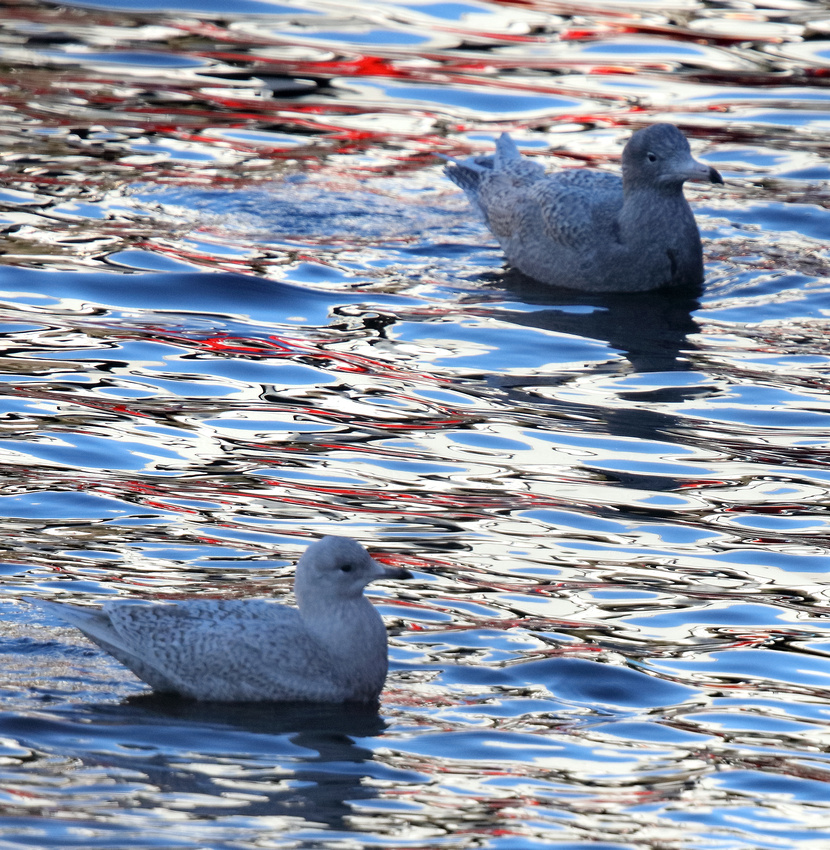 Glaucous and Iceland Gull